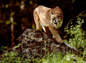 Cougar mountain lion